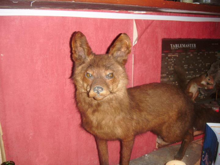 This is a photo of a fox that Hazel took in Fennelly's. It was very apt.